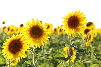 7 zalet zdrowotnych nasiona słonecznika